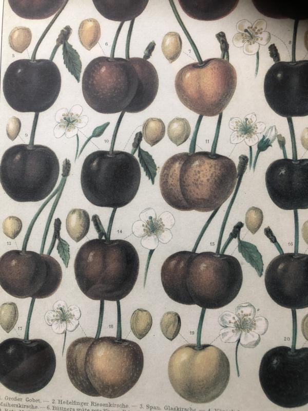 Schilderij | Vruchten | Botanische afbeelding van kersen (Duitstalig)