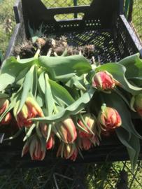 Tulpen met bol