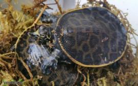 Apalone ferox / Woeste weekschildpad- Care