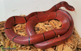 Oreocryptophis sp. / Bamboe rattenslang- Care