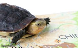 Cuora flavomarginata / Chinese doosschildpad - Care