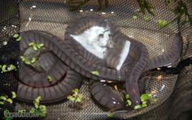 Potomotyphlus kaupii / Peruvian wormsalamander - Care