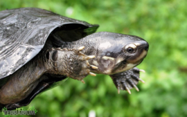 Siebenrockiella crassicollis / Zwarte dikkopschildpad - Care