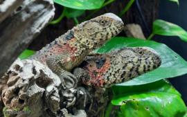 Shinisaurus crocodilurus / Chinese crocodiletail lizard- Care