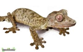 Uroplatus henkeli / Leaftail gekko- Care