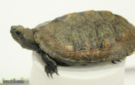 Mauremys japonica / Japanse moerasschildpad - Care