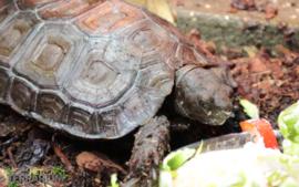 Manouria emys / Burmese woudschildpad - Care