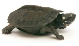 Info schildpadden