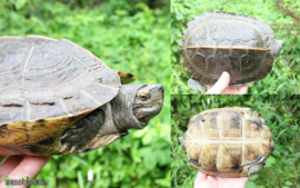 Heosemys grandis / Aziatische woudschildpad - Care