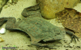 Pipa pipa / Surinam toad - Care