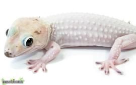 Gekko gecko / Tokey - Care