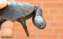 Chelodina oblonga (rugosa) / Oostelijke slangennek schildpad - Care