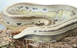 Python curtus 'complex' / Shorttail python - Care
