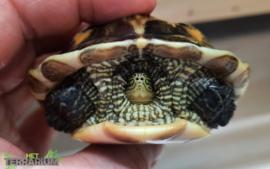 Ocadia sinensis / Chinese streepnekschildpad - Care