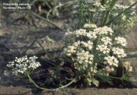 Anijs Groene - pimpinella anisum