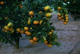 Mandarijnschil, Rode BIO - citrus reticulata var mandarina