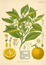Bittere Sinaasappel  - citrus aurantium ssp amara var pumilia