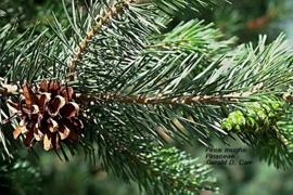 Bergden BIO - pinus mugho ssp pumiliones