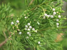 Virginische Ceder - juniperus virginiana