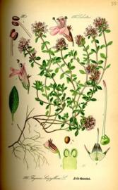 Wilde Tijm - thymus serpyllum
