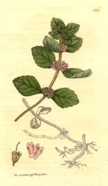 Japanse Munt BIO - mentha arvensis