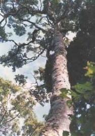 Ravensara BIO - cinnamomum camphora ssp ravintsara