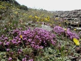 Tijm, Wilde - thymus serpyllum