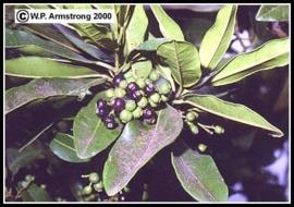 Bay St. Thomas - pimenta dioica/ racemosa