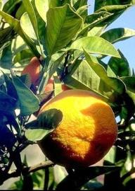 Sinaasappel, Bittere - citrus aurantium ssp amara var pumilia
