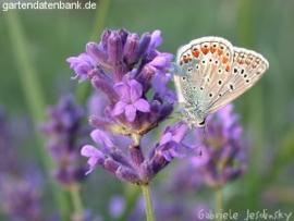 Lavendel CO2-extract / Lavandula angustifolia 11 ml