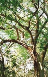 Rozenhout - aniba rosaeodora var. amazonica