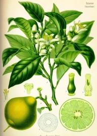 Bergamotblad - citrus aurantium ssp bergamia