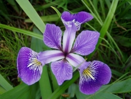 Iris Synergie 11 ml
