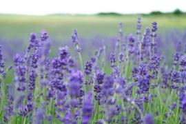 Lavendel Badolie