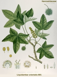 Styrax - liquidambar orientalis