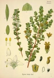 Bucco - barosma betulina