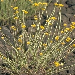 Strobloem BIO - helichrysum italicum ssp serotinum