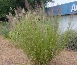 Vetiver BIO - vetiveria zizanoides