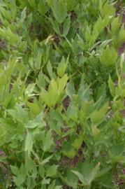 Lavas - levisticum officinalis