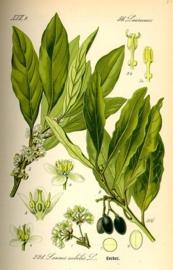 Laurier BIO - laurus nobilis