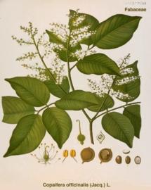 Kopal - copaifera off.