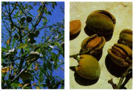 Amandel bitter - Prunus amygdalus var. amara