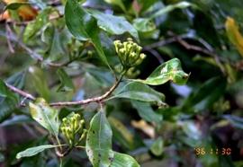 Kruidnagel Blad - caryophyllus aromaticus