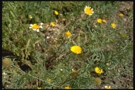 Wilde Kamille BIO - ormenis multicola - 5 ml