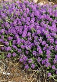 Oregano, Spaanse - corydothymus capitatus