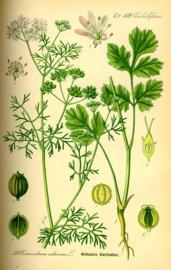Koriander - coriandrum sativum