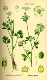 Selder - apium graveolens