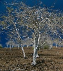 Palo Santo - bursurea graveolens