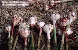 Knoflook - allium sativum