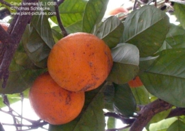 Zoete Sinaasappel   BIO - citrus cinesis